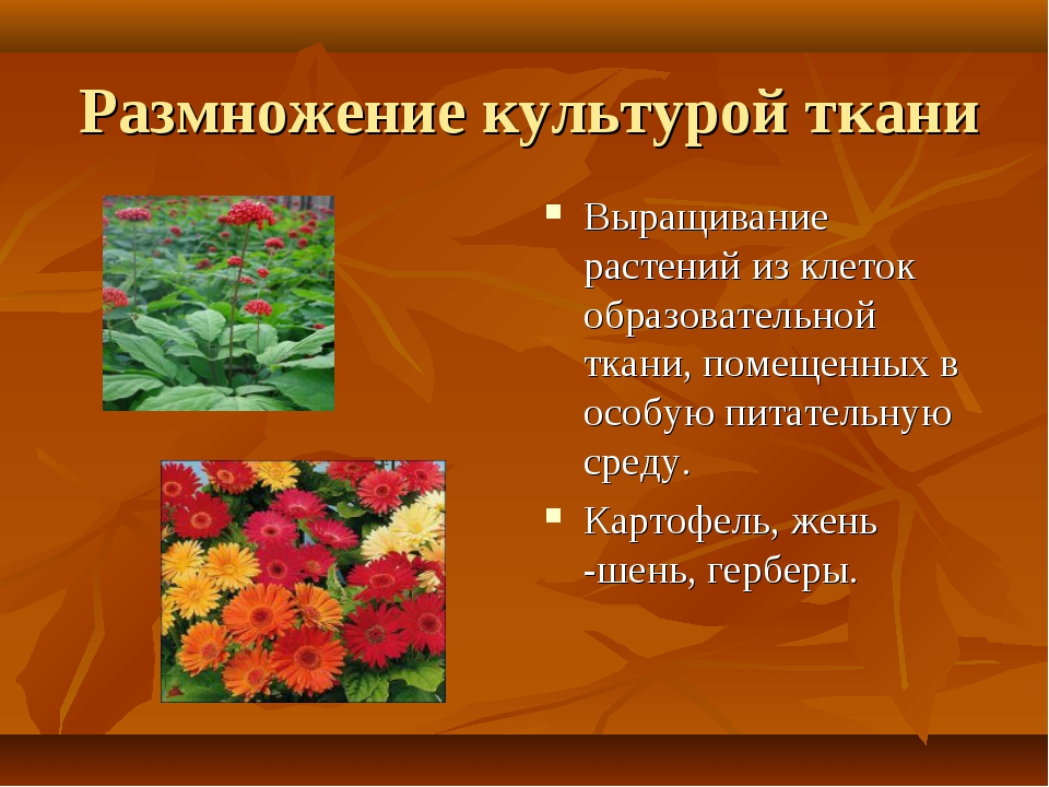 Размножение культурой ткани Выращивание растений из клеток образовательной тк...