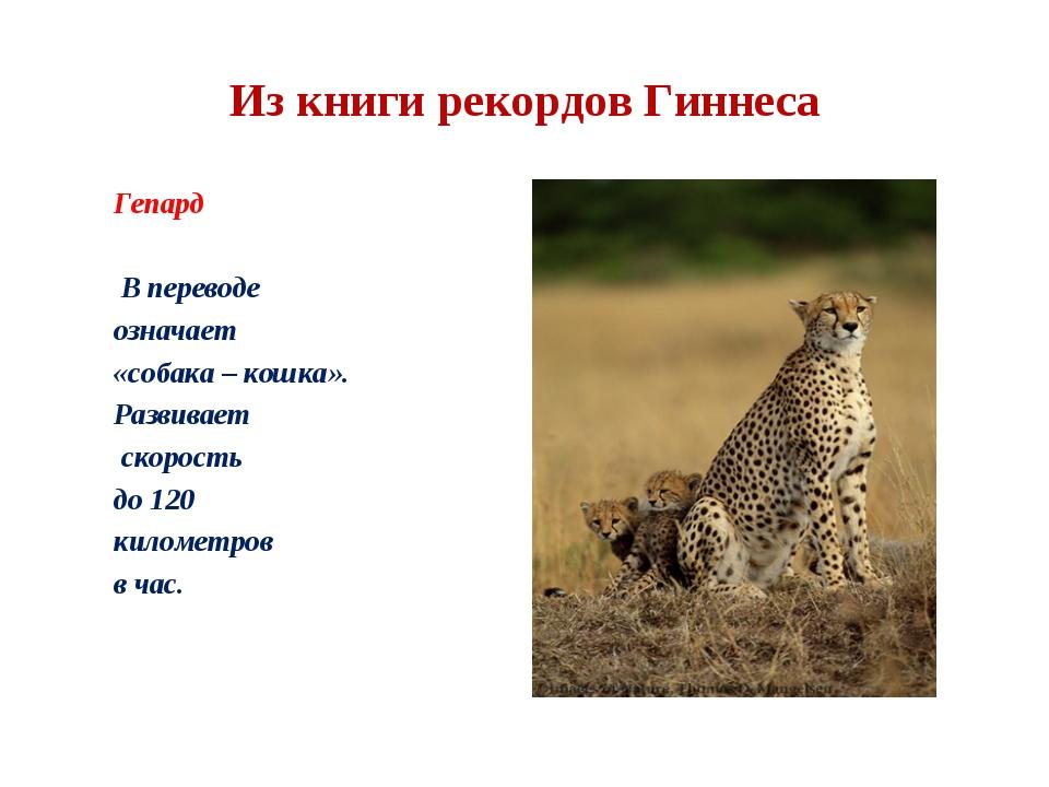 Из книги рекордов Гиннеса Гепард В переводе означает «собака – кошка». Развив...