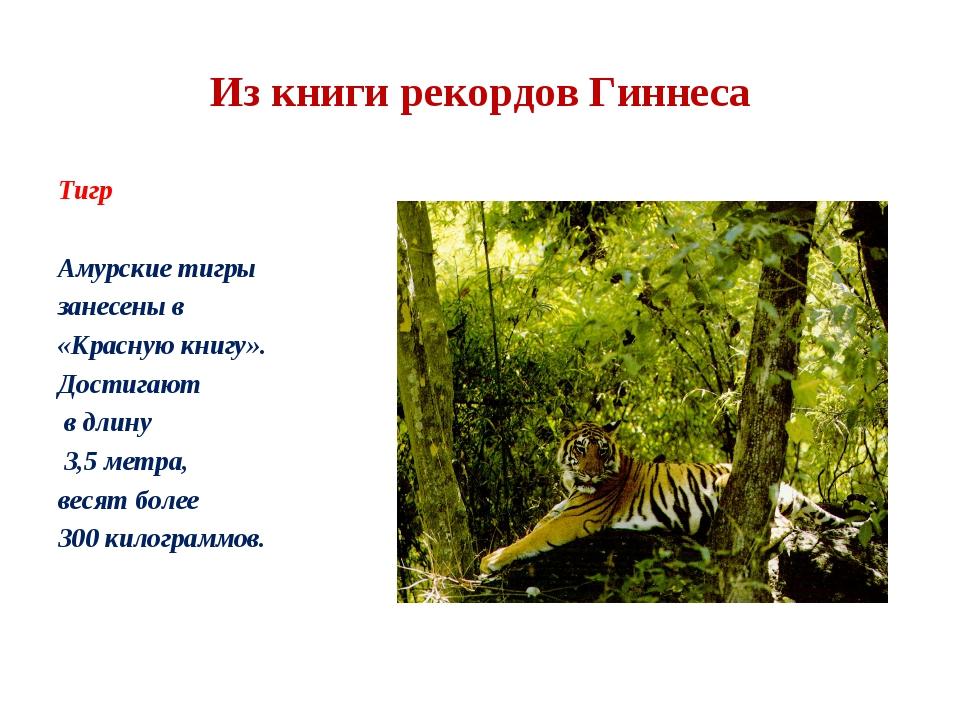 Из книги рекордов Гиннеса Тигр Амурские тигры занесены в «Красную книгу». Дос...