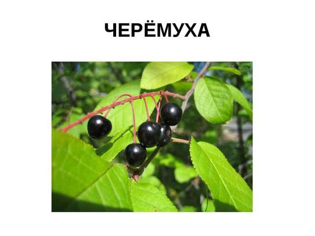 ЧЕРЁМУХА