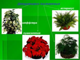 пуансеттия аспарагус шеффлера Декоративно-лиственные