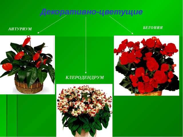 Декоративно-цветущие АНТУРИУМ БЕГОНИЯ КЛЕРОДЕНДРУМ