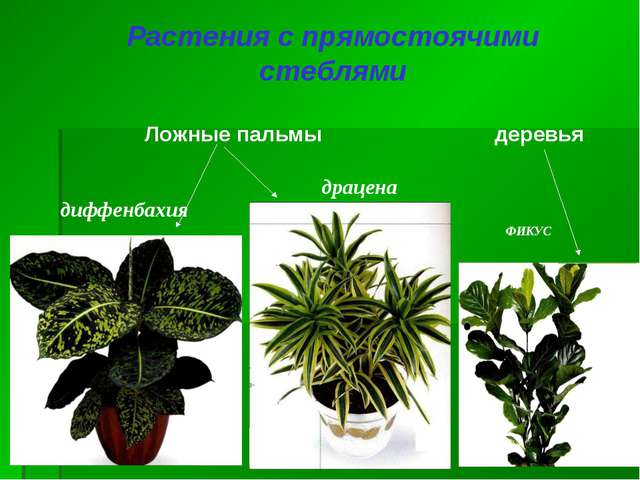 Растения с прямостоячими стеблями деревья Ложные пальмы диффенбахия драцена Ф...
