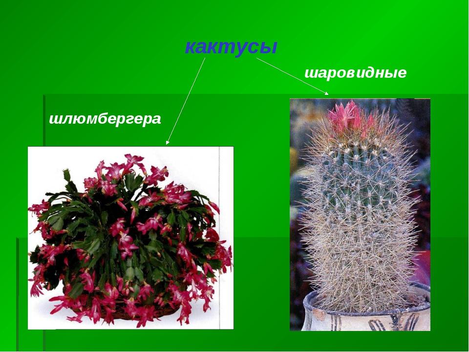 кактусы шлюмбергера шаровидные