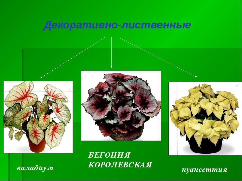 Декоративно-лиственные каладиум пуансеттия БЕГОНИЯ КОРОЛЕВСКАЯ