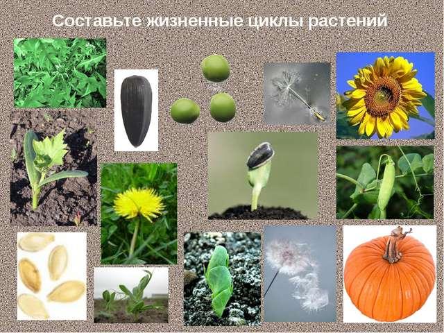 Составьте жизненные циклы растений