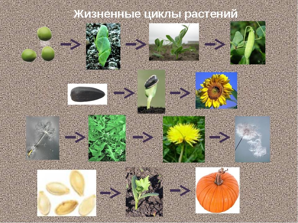 Жизненные циклы растений