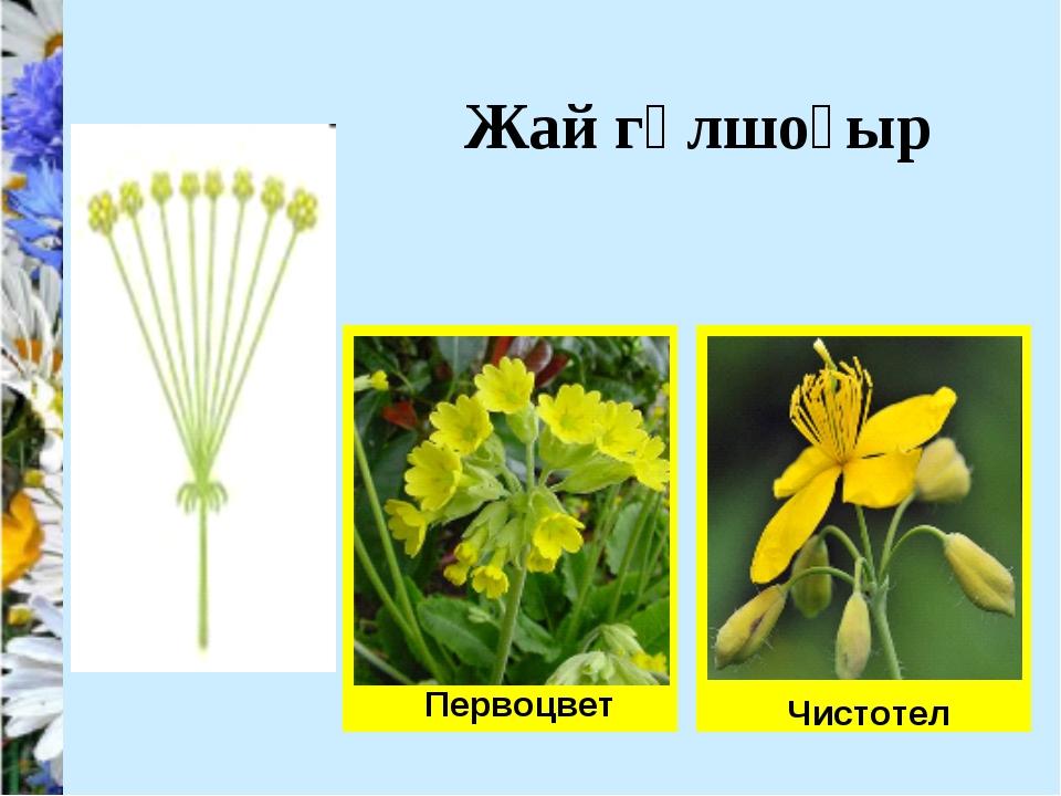 Первоцвет Чистотел Жай гүлшоғыр