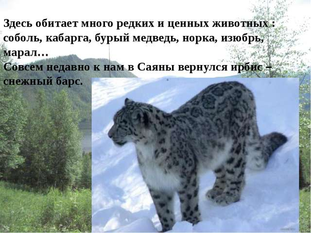 Здесь обитает много редких и ценных животных : соболь, кабарга, бурый медведь...