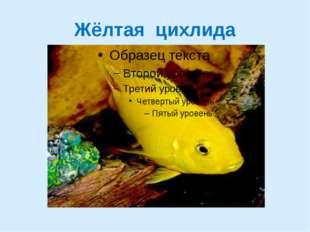 Жёлтая цихлида