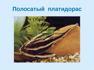 Полосатый платидорас