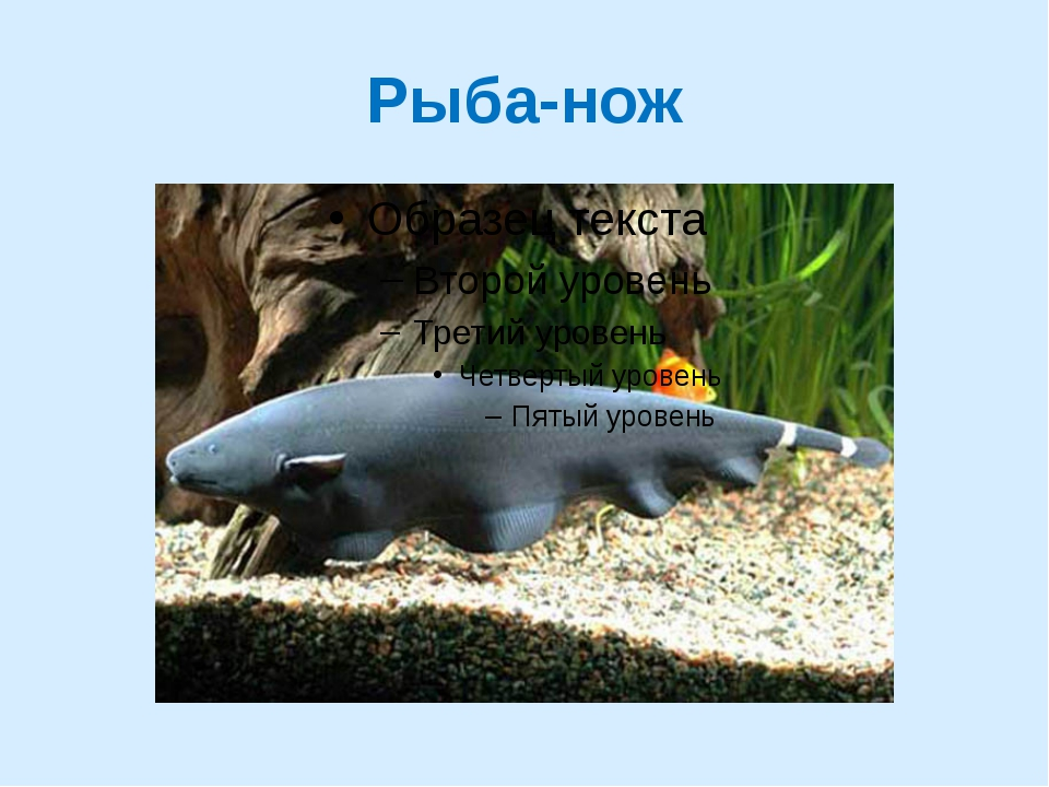 Рыба-нож