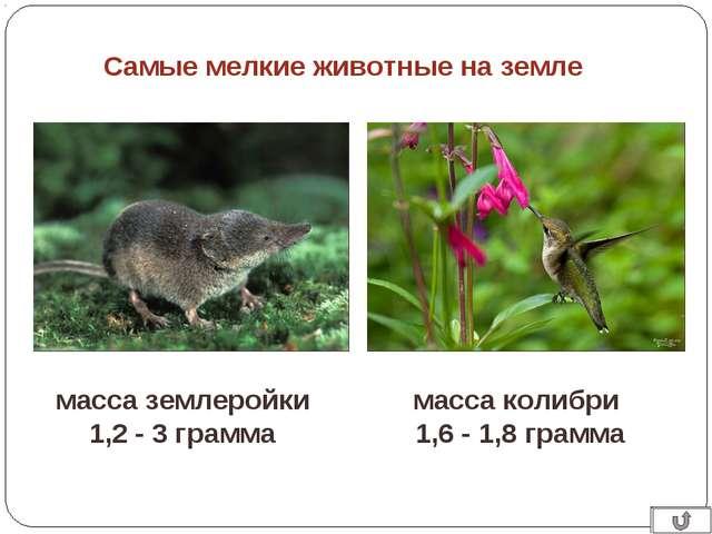 Самые мелкие животные на земле масса колибри 1,6 - 1,8 грамма масса землеройк...
