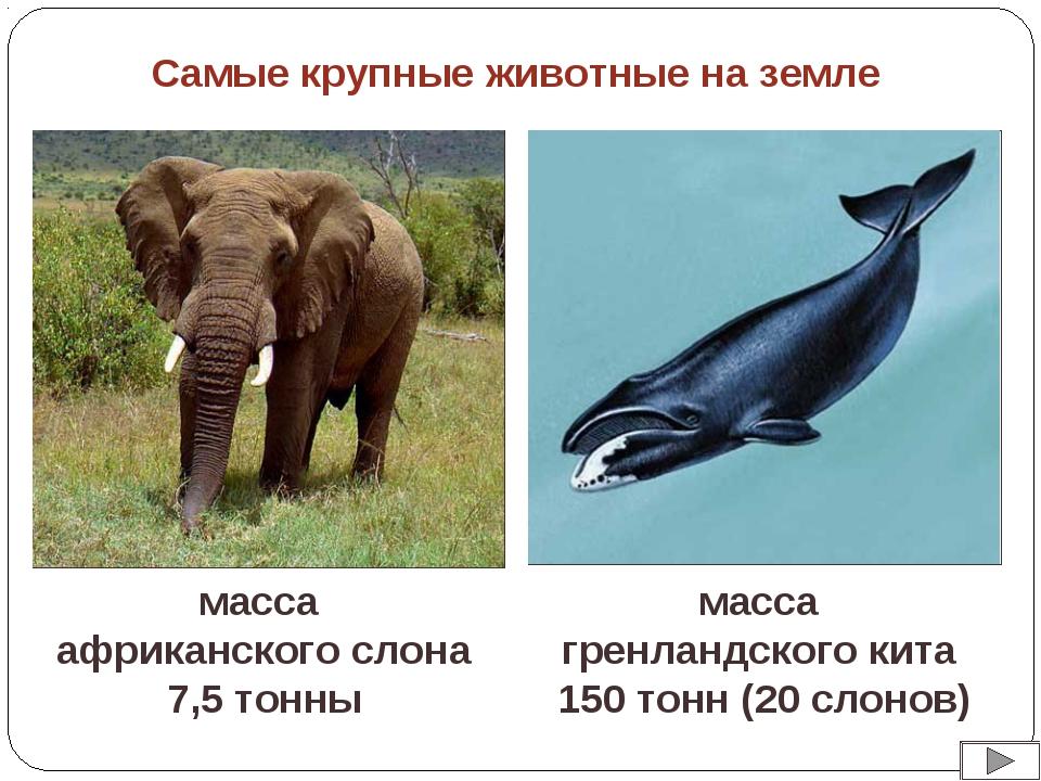 масса африканского слона 7,5 тонны масса гренландского кита 150 тонн (20 слон...