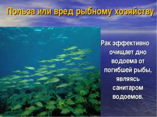 Польза или вред рыбному хозяйству Рак эффективно очищает дно водоема от погиб
