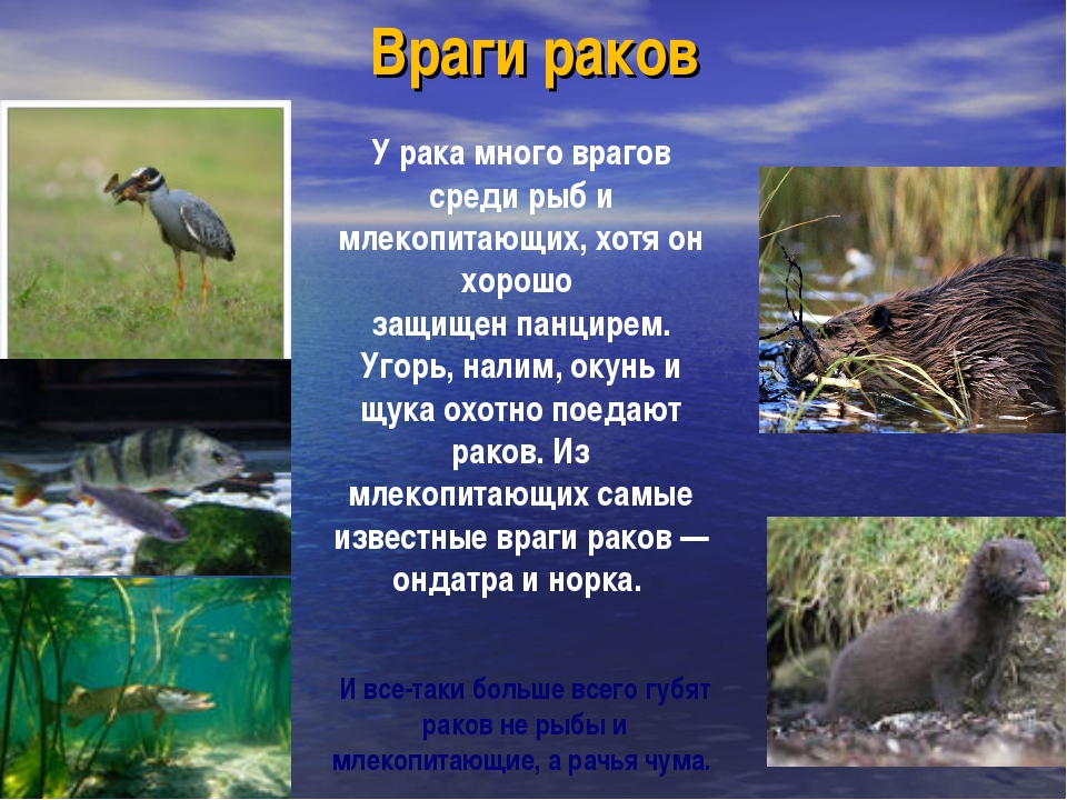 Враги раков У рака много врагов среди рыб и млекопитающих, хотя он хорошо защ...