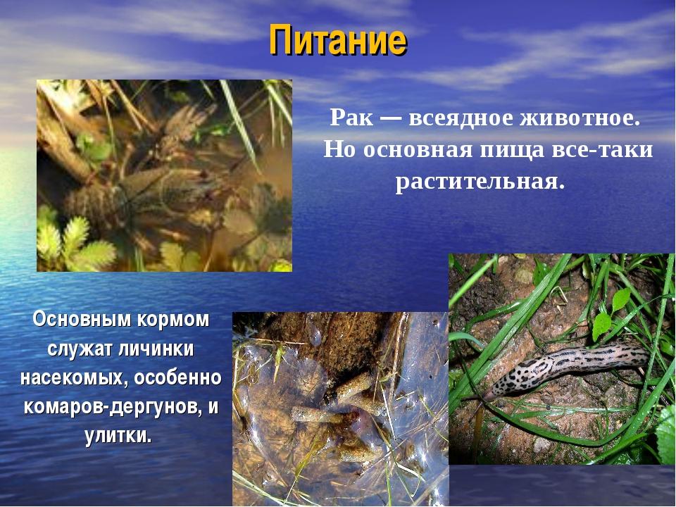 Питание Основным кормом служат личинки насекомых, особенно комаров-дергунов,...