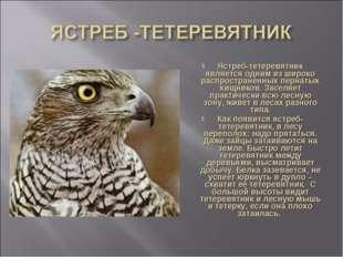 Ястреб-тетеревятник является одним из широко распространенных пернатых хищник