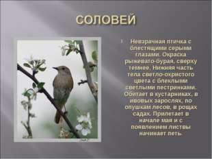 Невзрачная птичка с блестящими серыми глазами. Окраска рыжевато-бурая, сверху