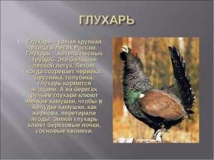 Глухарь – самая крупная птица в лесах России. Глухарь житель лесных трущоб. Э