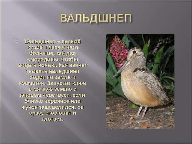 Вальдшнеп – лесной кулик. Глаза у него большие, как две смородины, чтобы виде...
