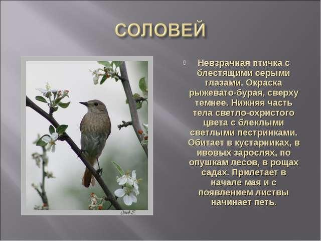 Невзрачная птичка с блестящими серыми глазами. Окраска рыжевато-бурая, сверху...
