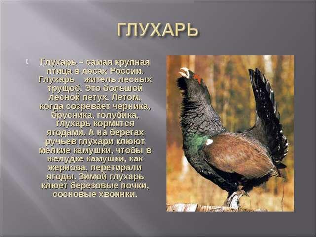 Глухарь – самая крупная птица в лесах России. Глухарь житель лесных трущоб. Э...