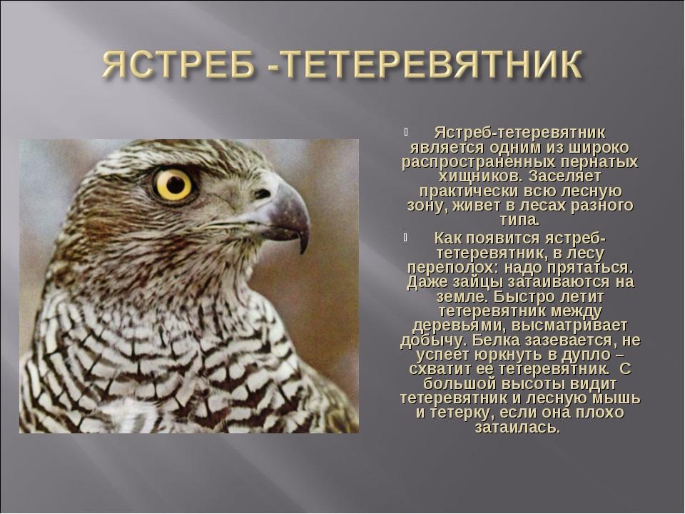 Ястреб-тетеревятник является одним из широко распространенных пернатых хищник...