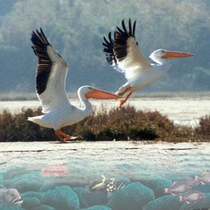 C:\Users\Admin\Desktop\В мире животных\правда ли это\пеликаны.jpg