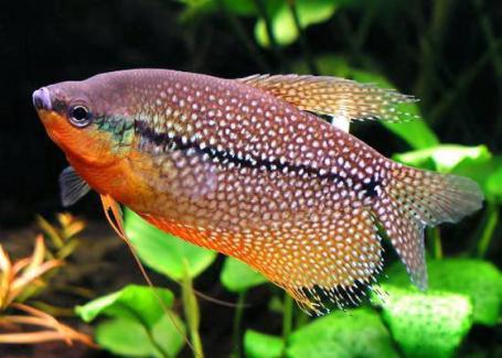 C:\Users\Admin\Desktop\В мире животных\правда ли это\жемчужные рыбки.jpg