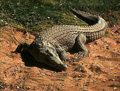 C:\Users\Admin\Desktop\В мире животных\правда ли это\крокодил.jpg