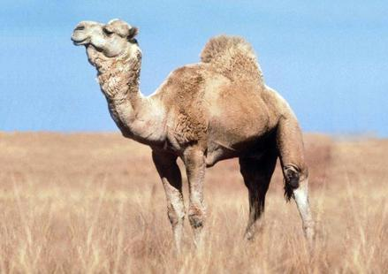 C:\Users\Admin\Desktop\В мире животных\правда ли это\верблюд.jpg