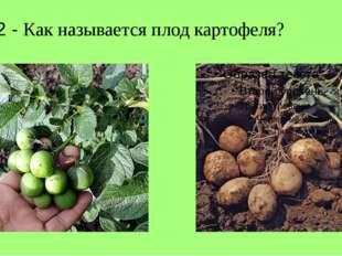 Л 2 - Как называется плод картофеля?