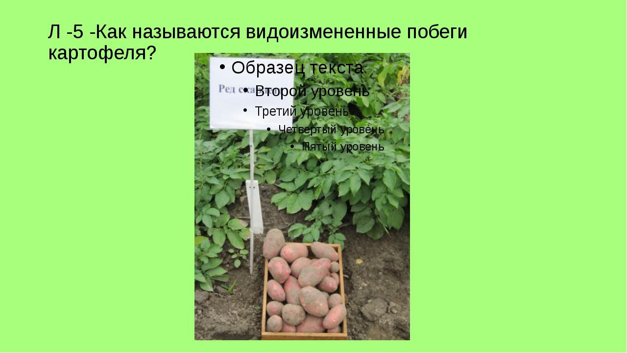 Л -5 -Как называются видоизмененные побеги картофеля?