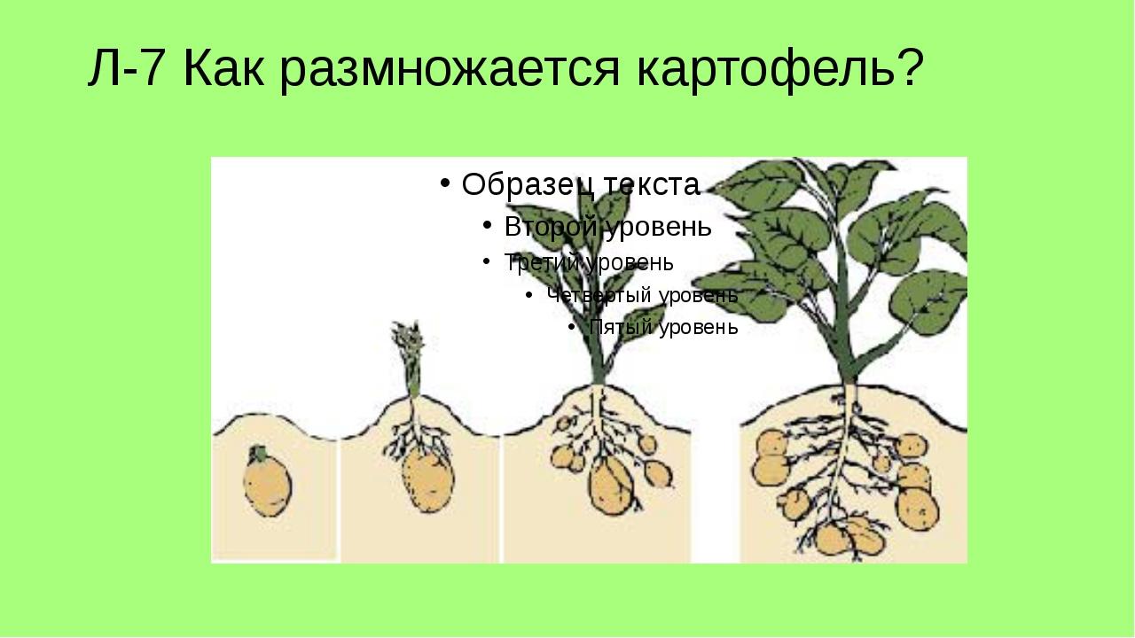 Л-7 Как размножается картофель?