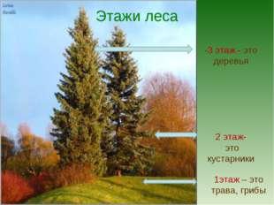 Этажи леса -3 этаж - это деревья 2 этаж- это кустарники 1этаж – это трава, гр