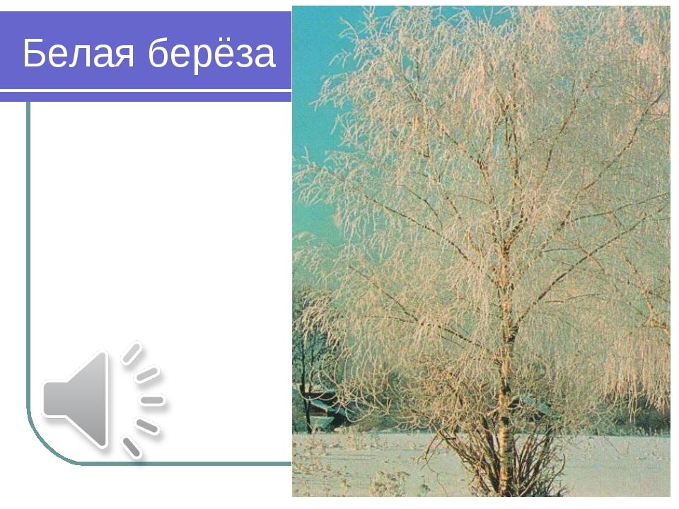 Белая берёза