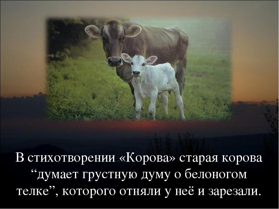 """В стихотворении «Корова» старая корова """"думает грустную думу о белоногом телк..."""