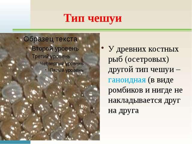 Тип чешуи У древних костных рыб (осетровых) другой тип чешуи – ганоидная (в в...