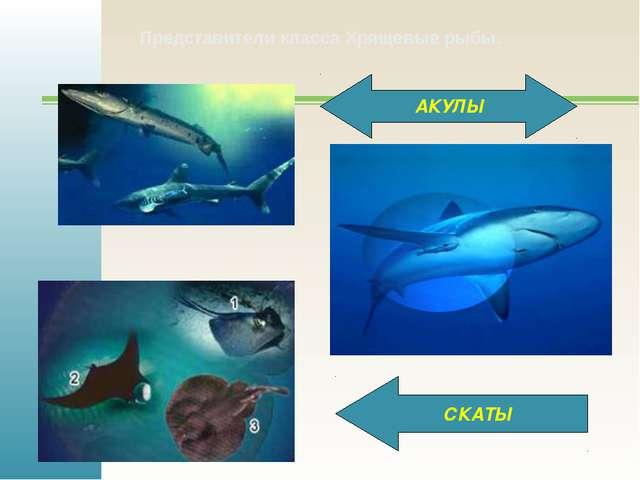 АКУЛЫ СКАТЫ Представители класса Хрящевые рыбы.