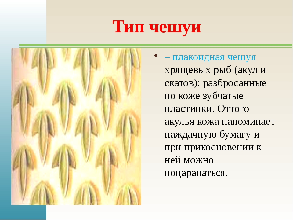 Тип чешуи – плакоидная чешуя хрящевых рыб (акул и скатов): разбросанные по ко...