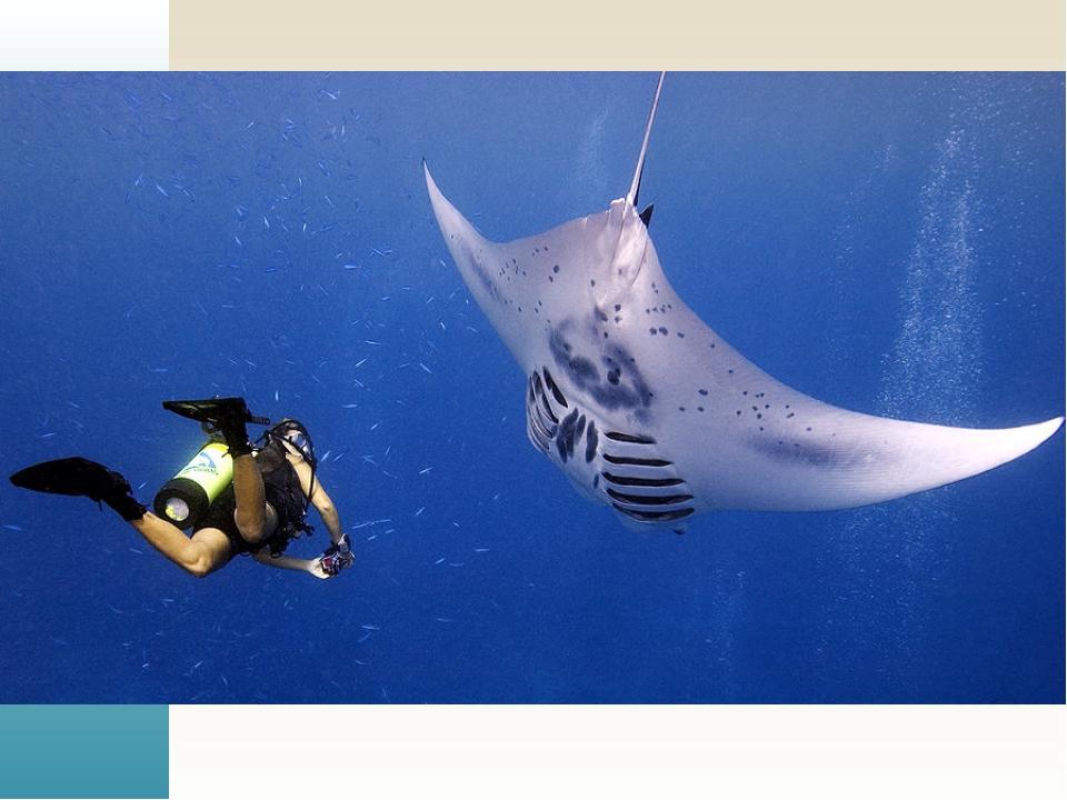 Скаты (лат. Batoidea) — один из двух надотрядов пластиножаберных хрящевых ры...