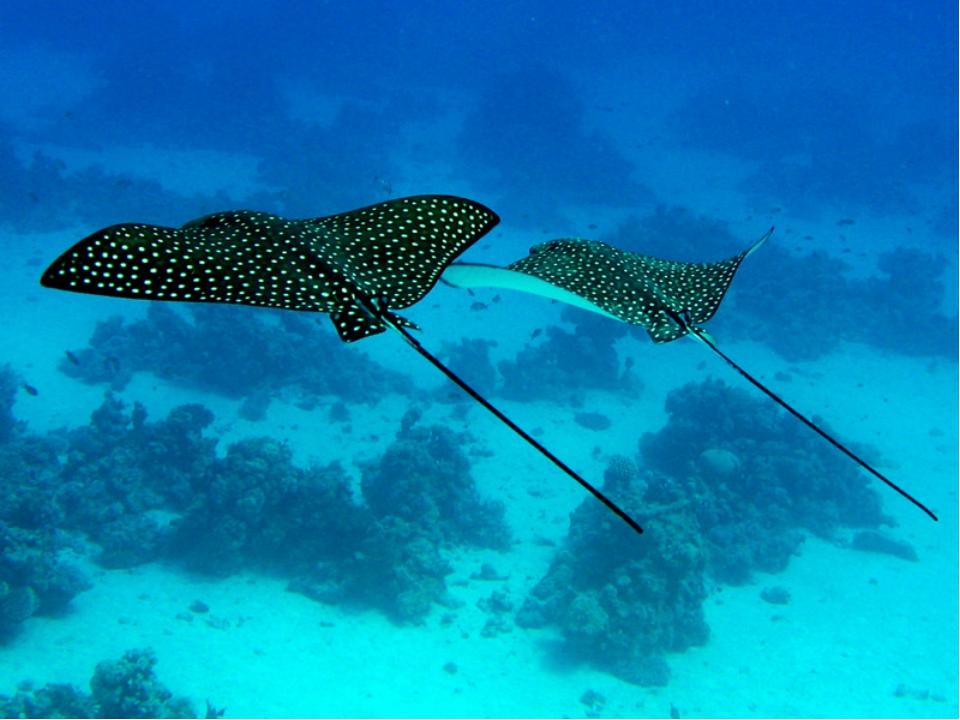 Хвост бичеобразной формы. Большинство скатов живёт в морской воде, однако су...