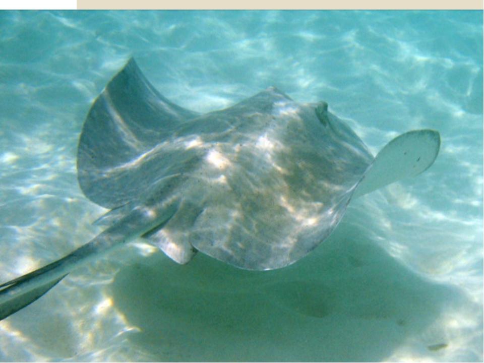 Большинство видов скатов ведёт придонный образ жизни и питается моллюсками,...