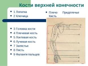 Кости верхней конечности 1 Лопатка 2 Ключица 3 Головка кости 4 Плечевая кость