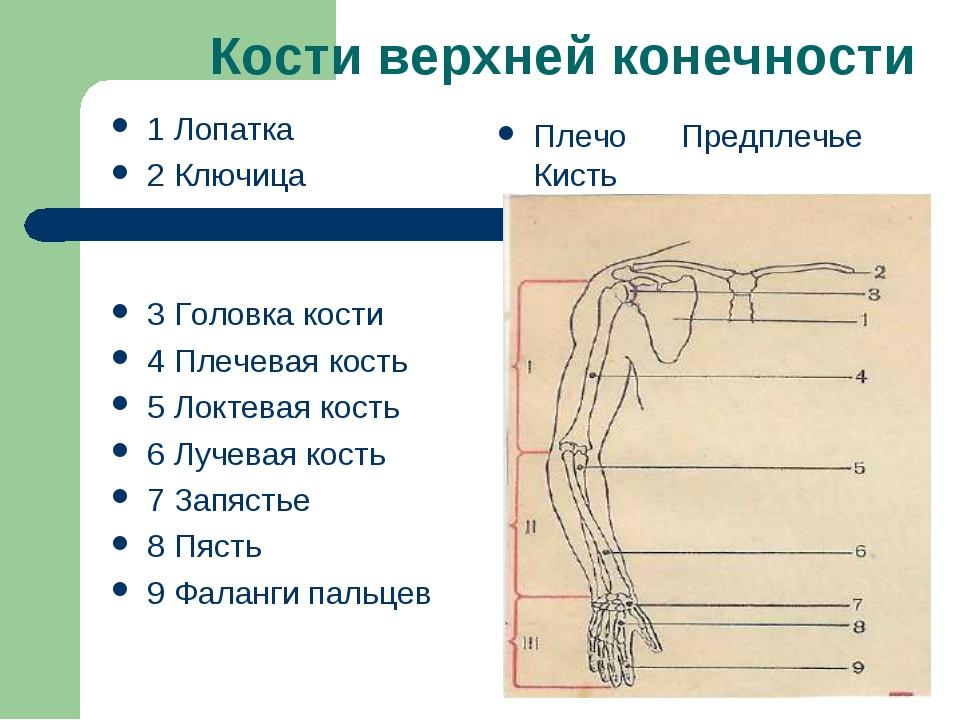 Кости верхней конечности 1 Лопатка 2 Ключица 3 Головка кости 4 Плечевая кость...