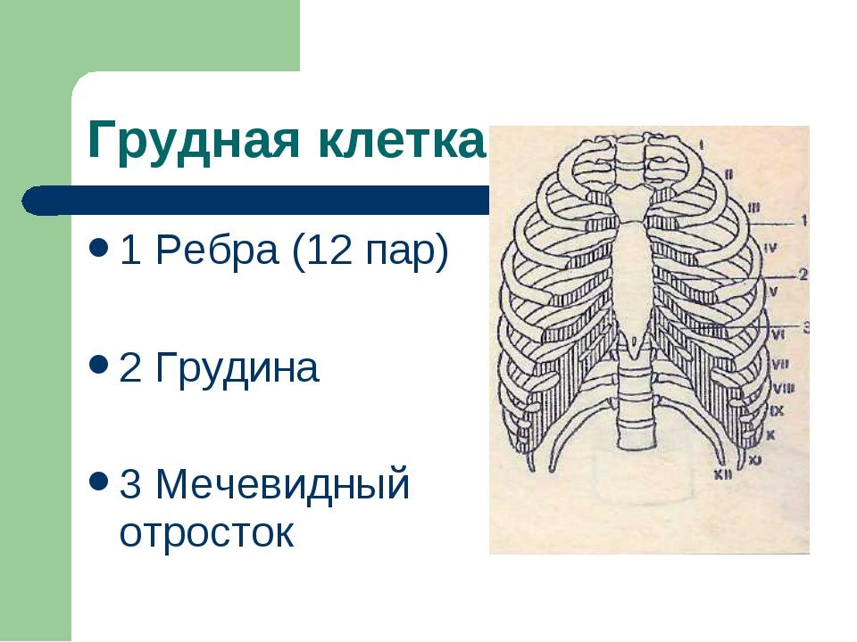 Грудная клетка 1 Ребра (12 пар) 2 Грудина 3 Мечевидный отросток