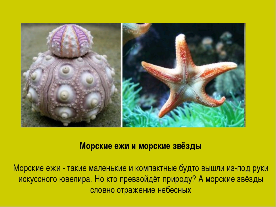 Морские ежи и морские звёзды Морские ежи - такие маленькие и компактные,будто...