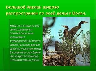 Большой баклан широко распространен по всей дельте Волги. Живут эти птицы на