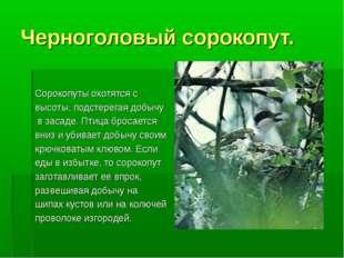 Черноголовый сорокопут. Сорокопуты охотятся с высоты, подстерегая добычу в за